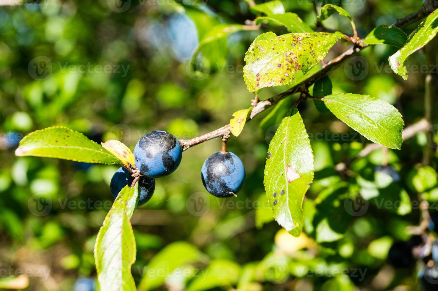 fruits of the blackthorn bush photo