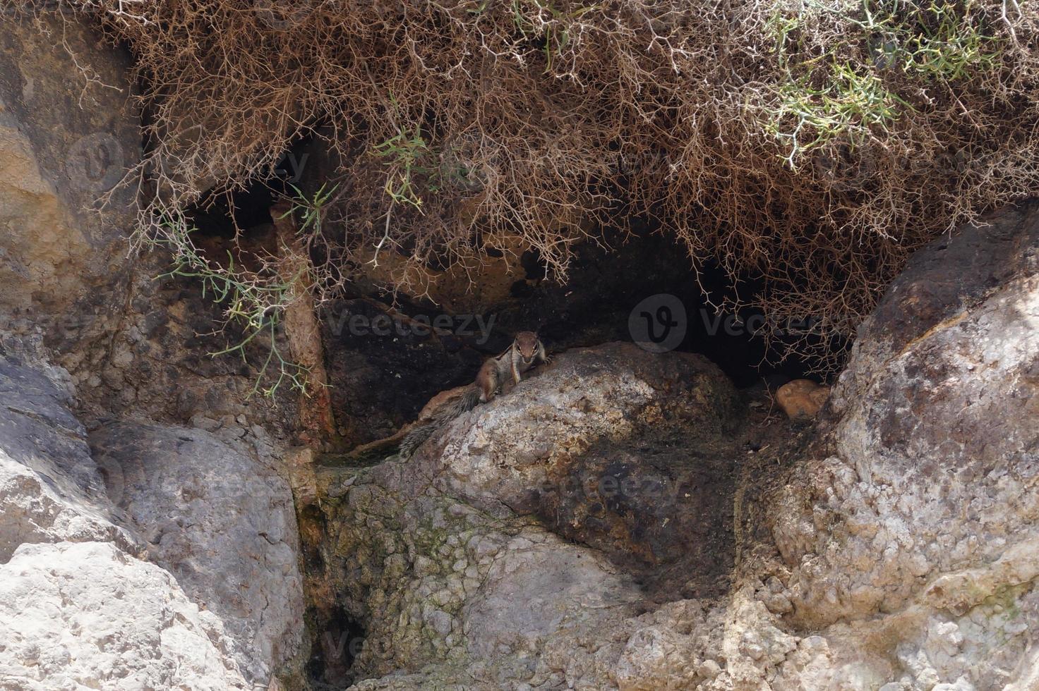 Barbary Ground Squirrel photo
