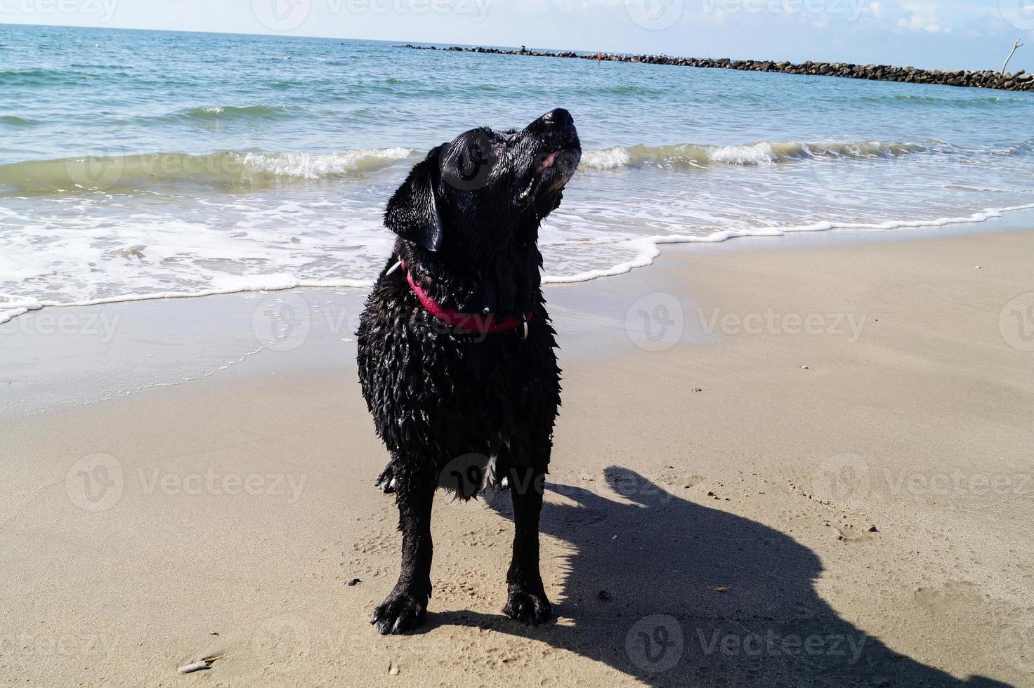 Labrador retriever negro está jugando en la playa de Blavand, Dinamarca foto