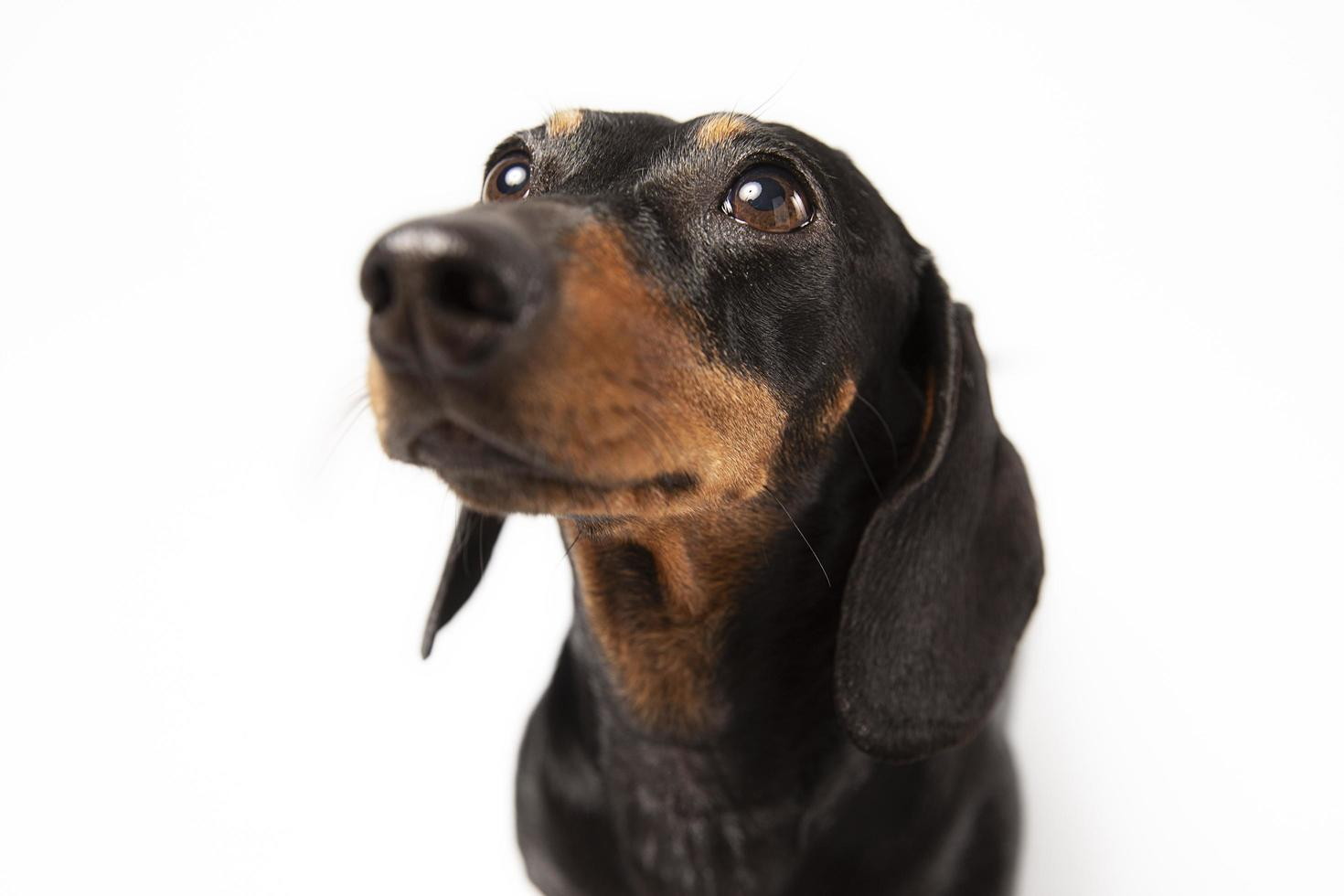 Small dog being adorable portrait studio photo