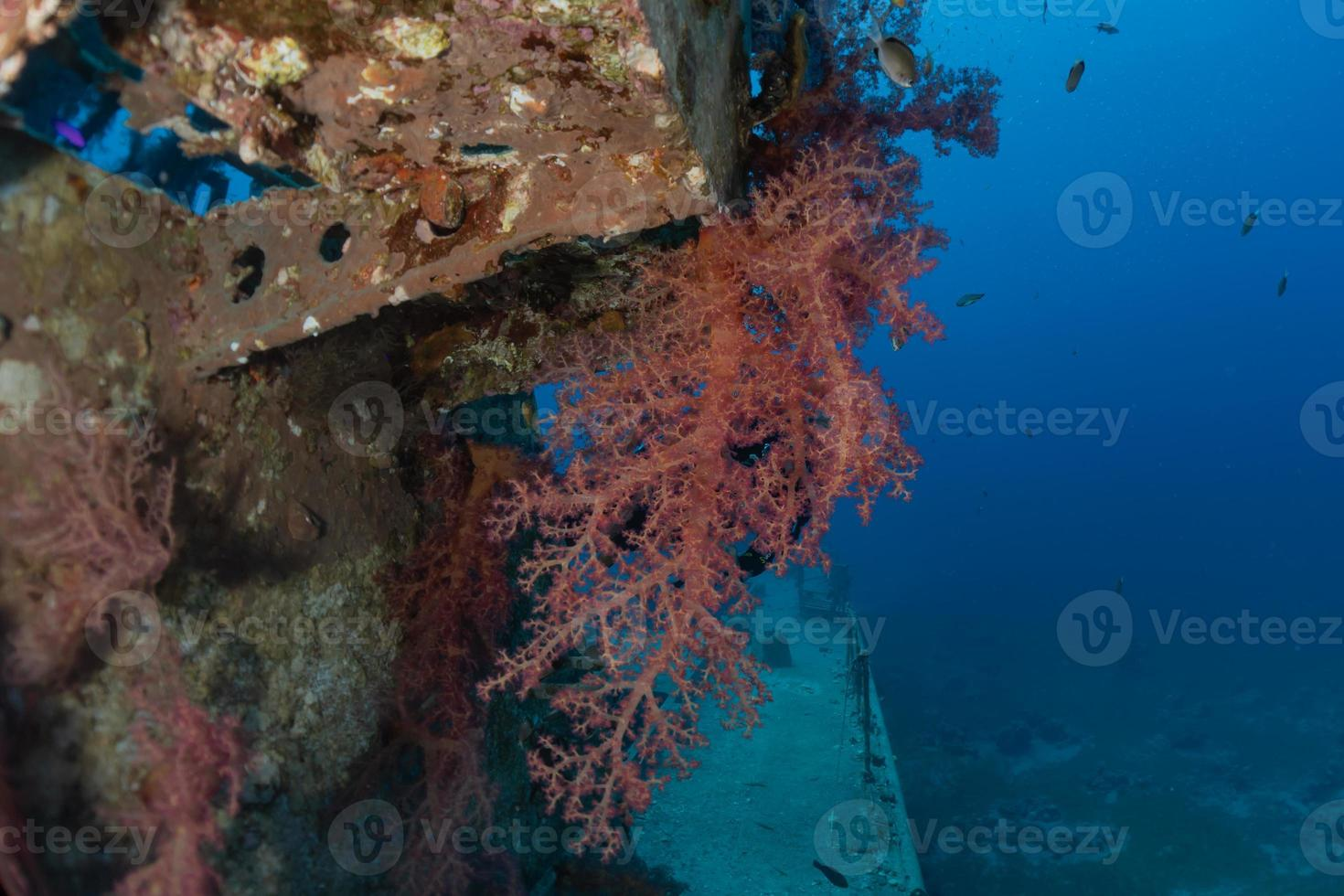 Coral reef and water plants in the Red Sea, Eilat Israel photo