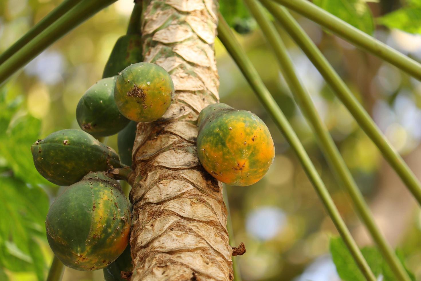 Papaya fruit tree in kerala photo