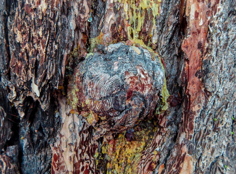 Bark Knob hemlock trunk by Scout Lake near Sisters OR photo