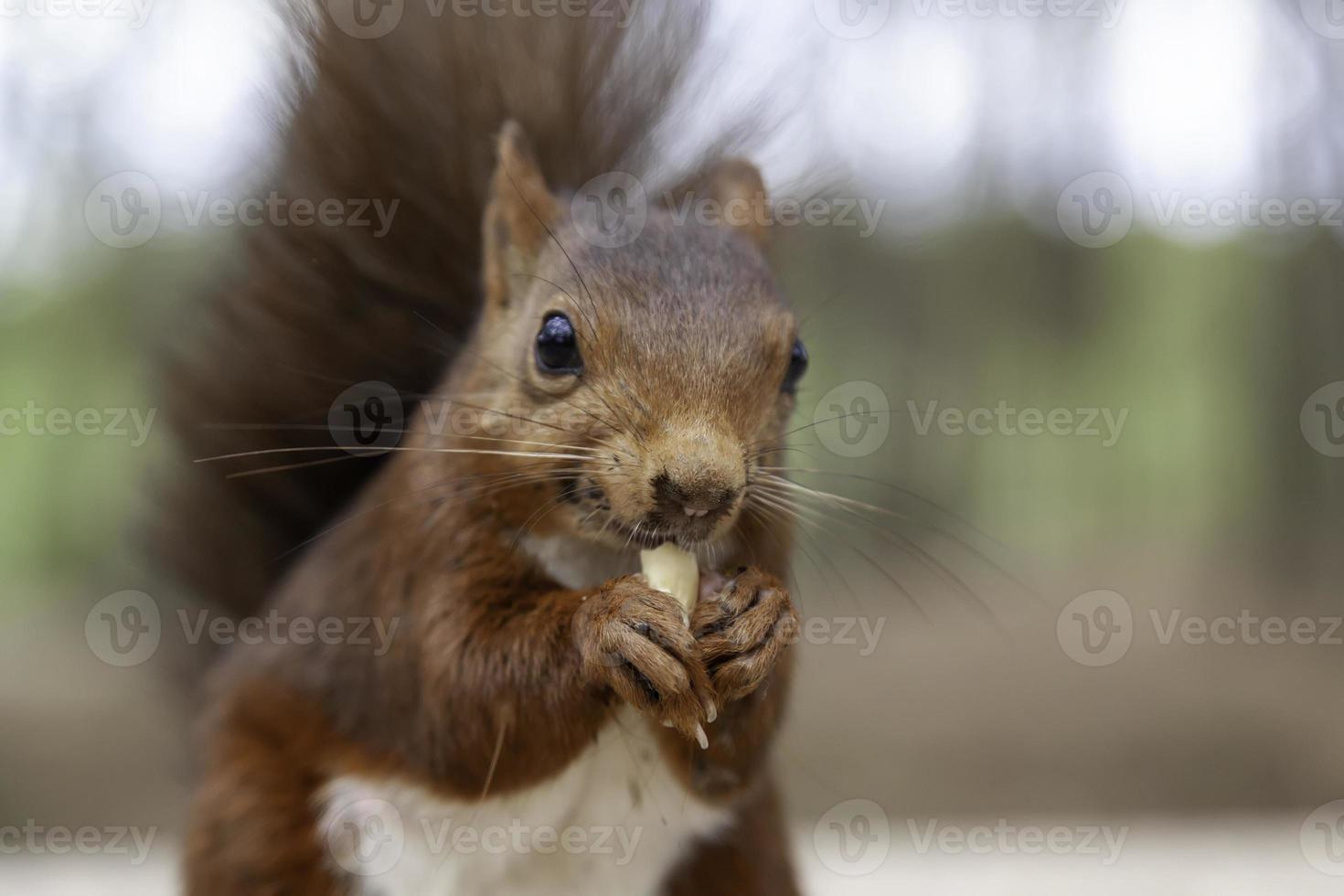 Squirrel eating peanuts photo