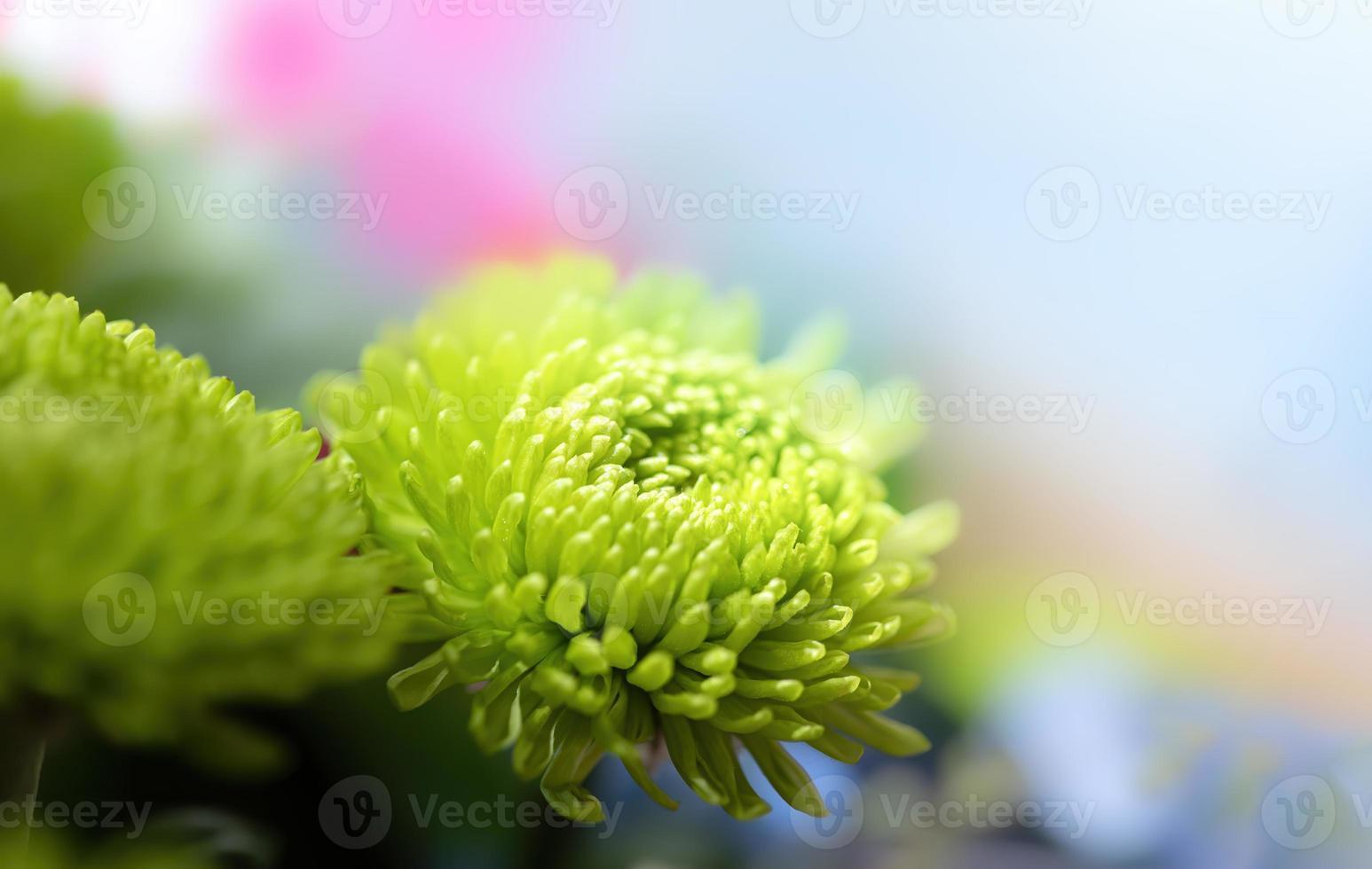 Green dahlia in sunlight photo