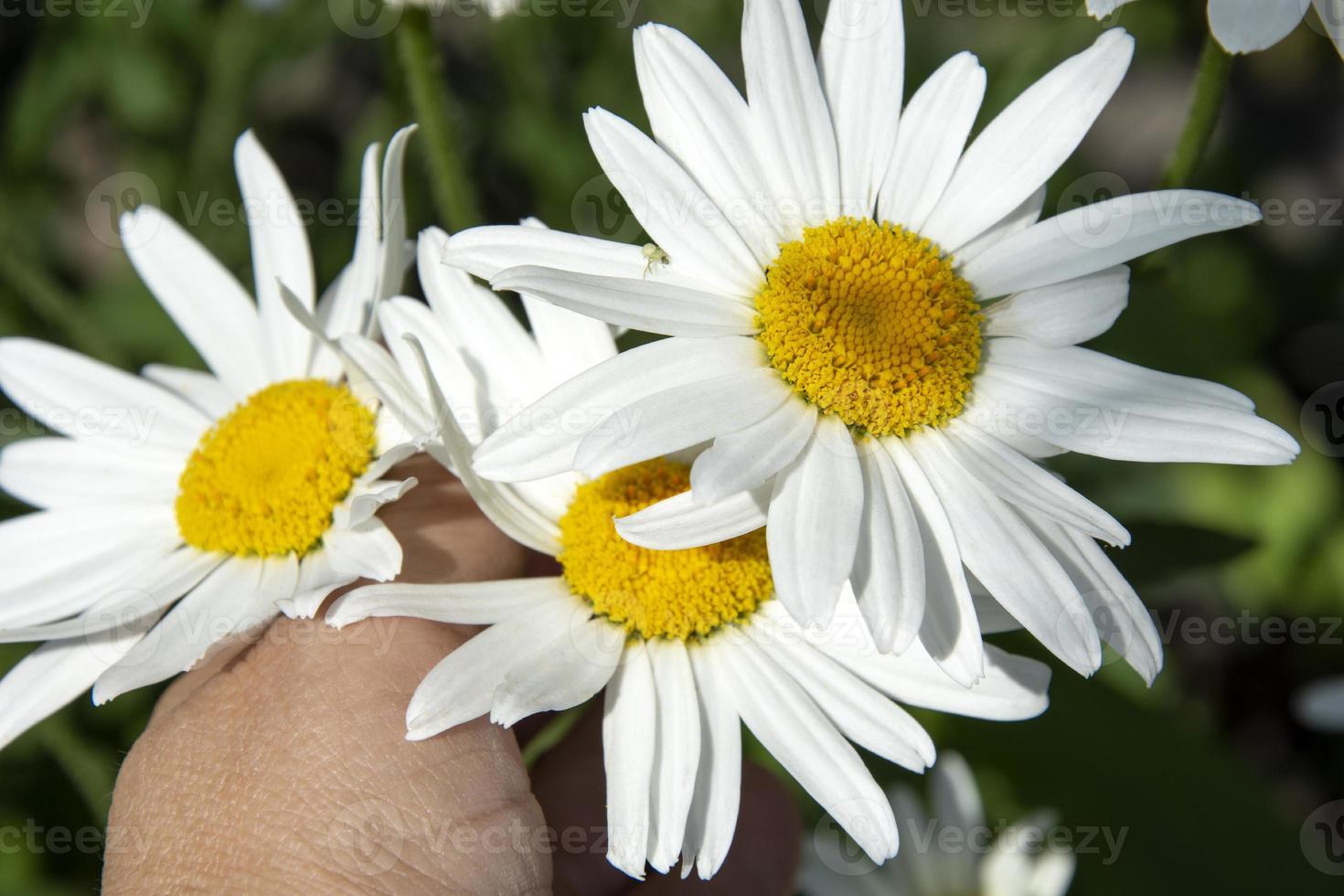 primer plano de flores de margarita. la mano de una mujer recoge margaritas de jardín. foto