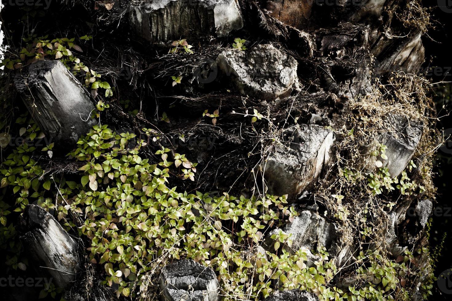 cuerpo de palmera de planta tropical foto