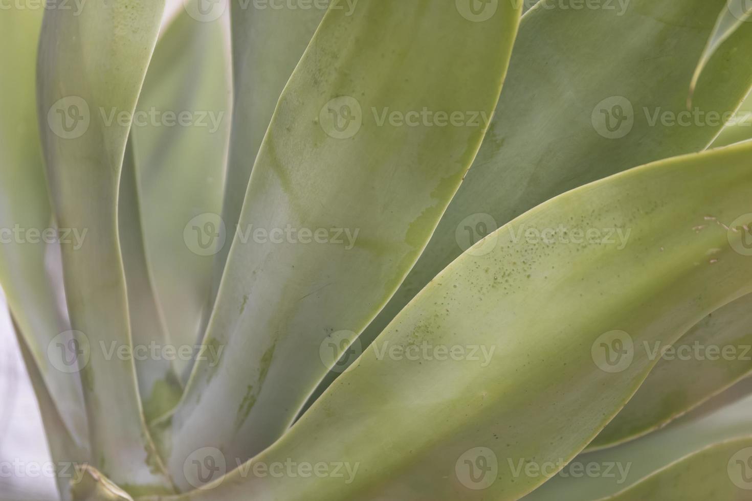Close up shot of succulent plant leaves photo