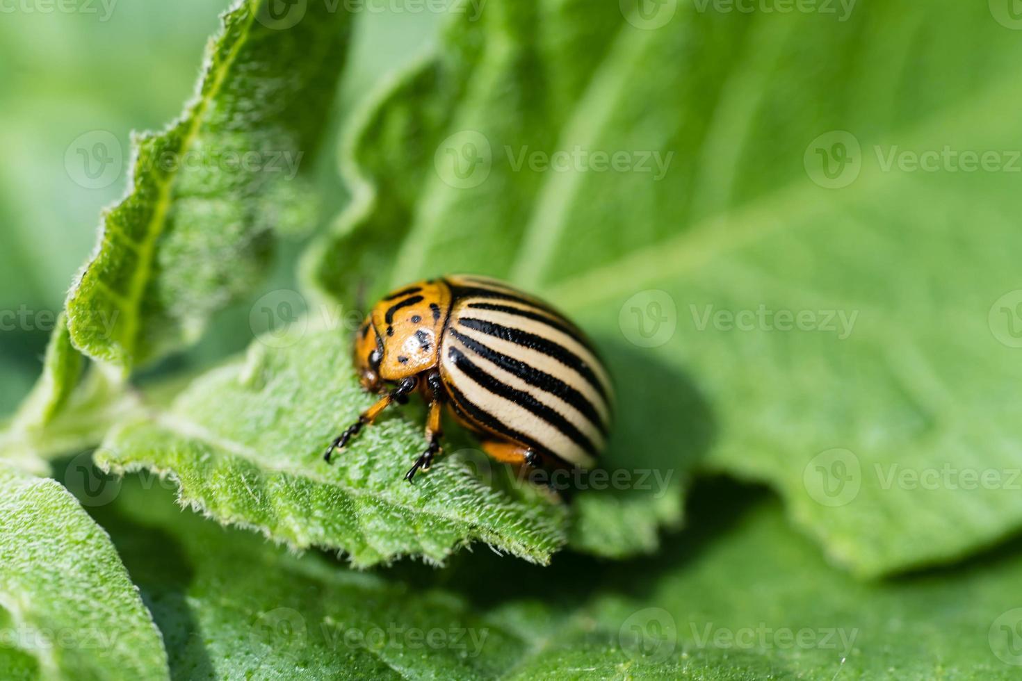 el escarabajo de colorado destruye las hojas de las plantas de papa foto