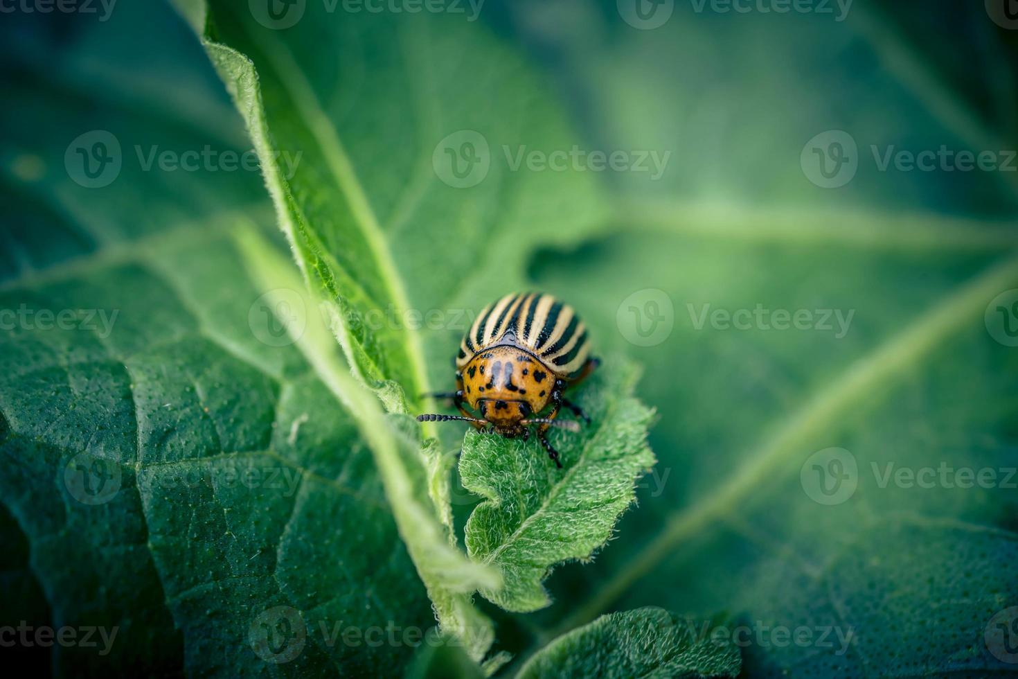 The colorado beetle destroys the leaves of potato plants photo