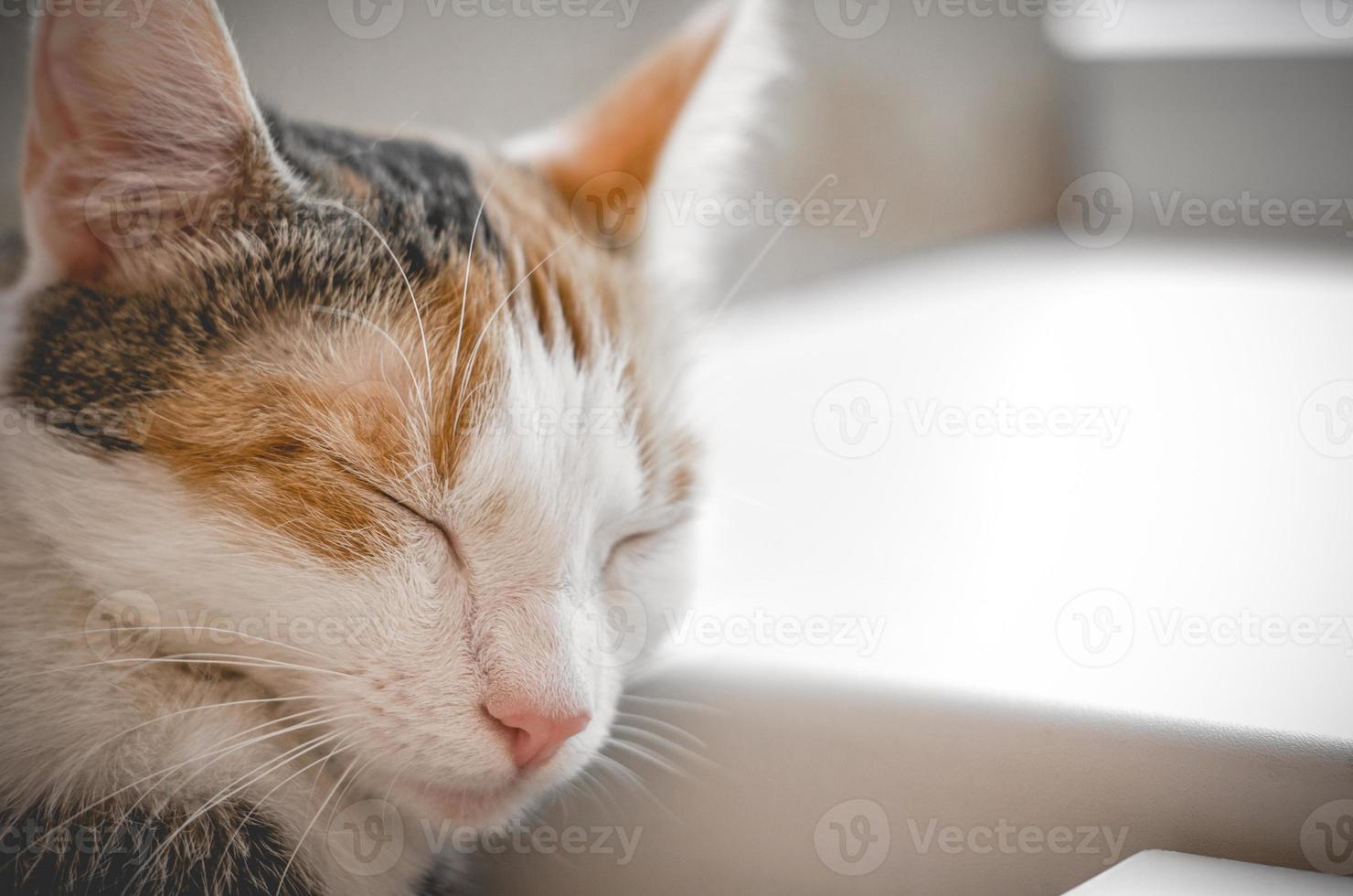 Sleeping tricolor cat photo