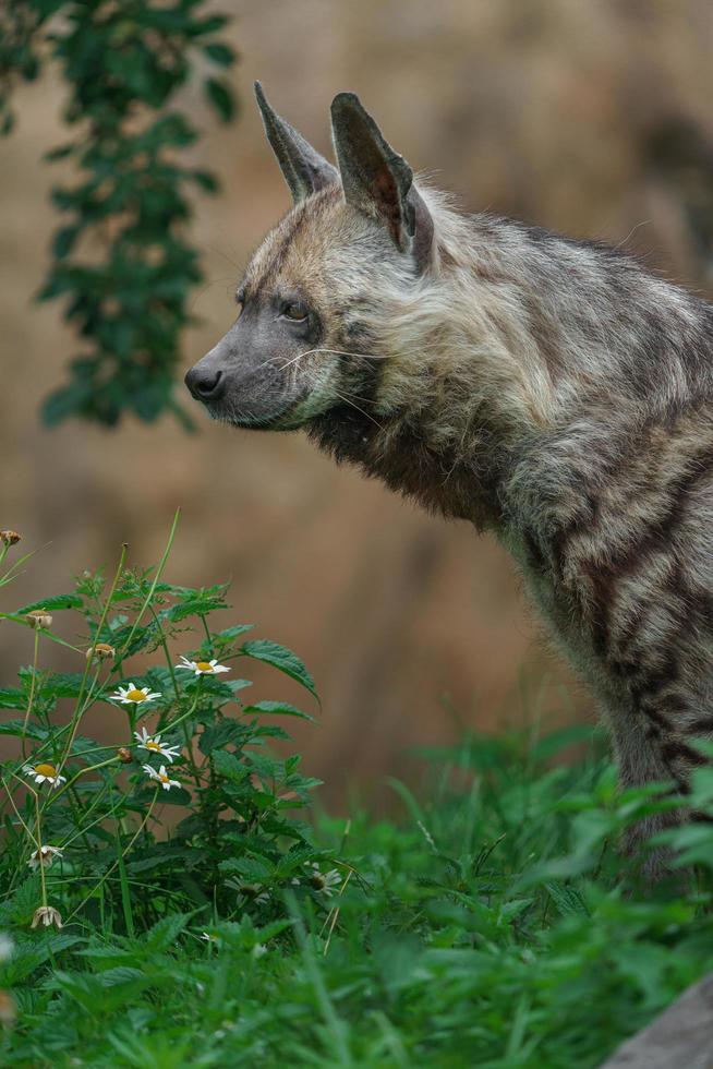 retrato, de, hiena rayada foto