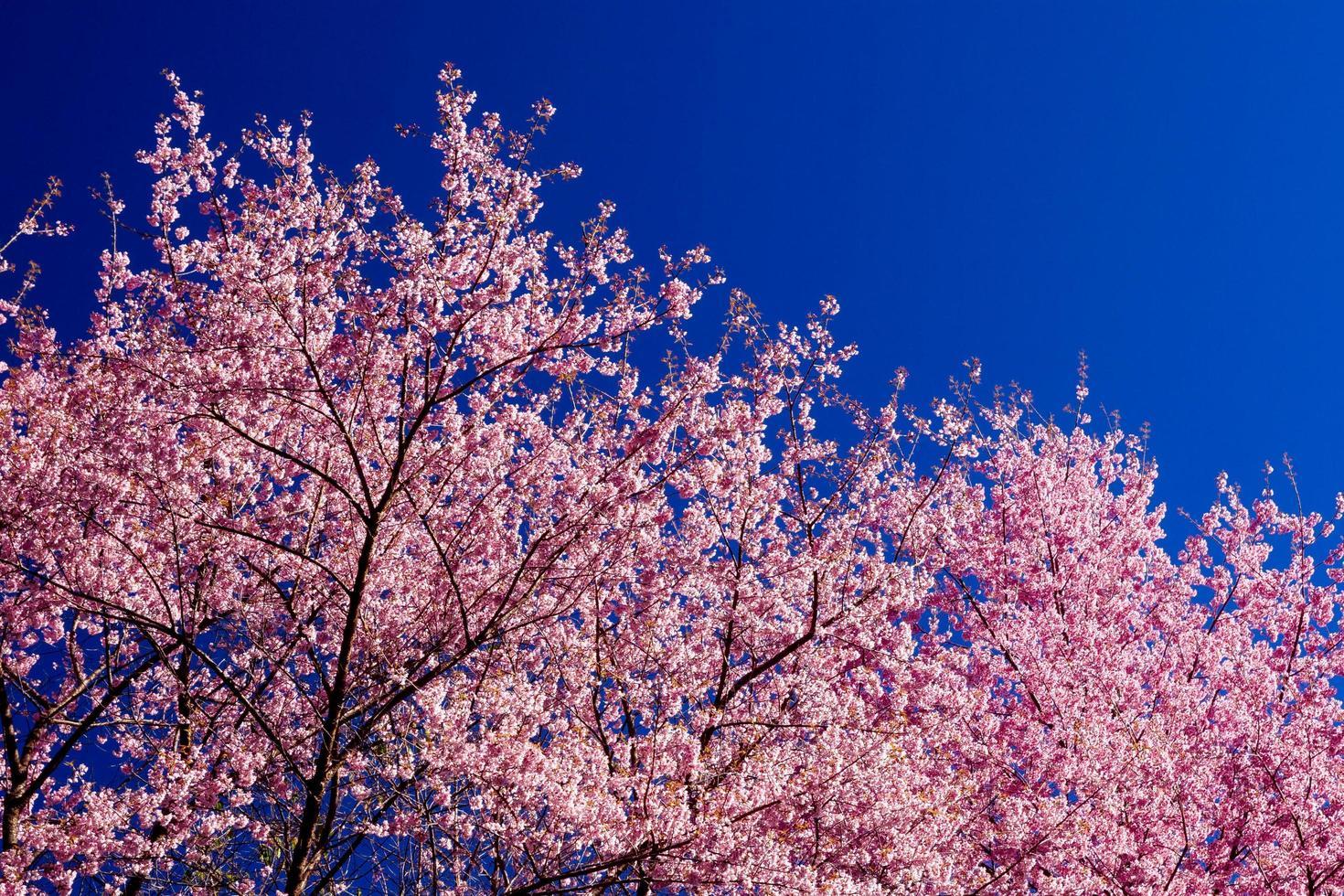 Beautiful cherry blossoms photo