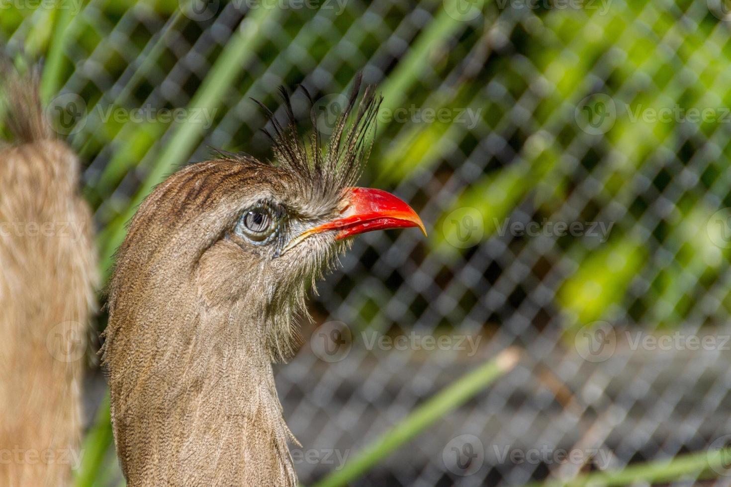 Seriema, typical bird of the Brazilian cerrados photo