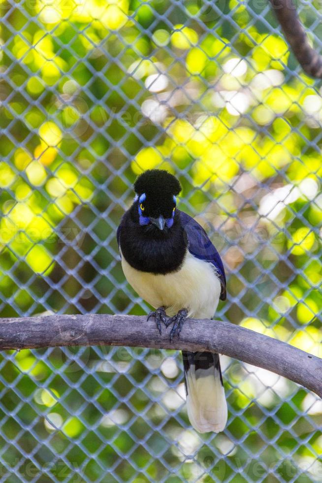 Bird cancan rook gralha cancan  standing on a branch outdoors photo