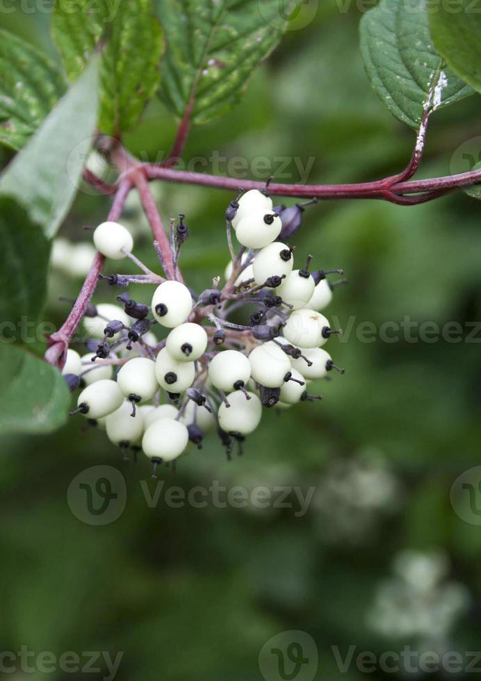 primer plano blanco de desorden. plantas de siberia, naturaleza foto