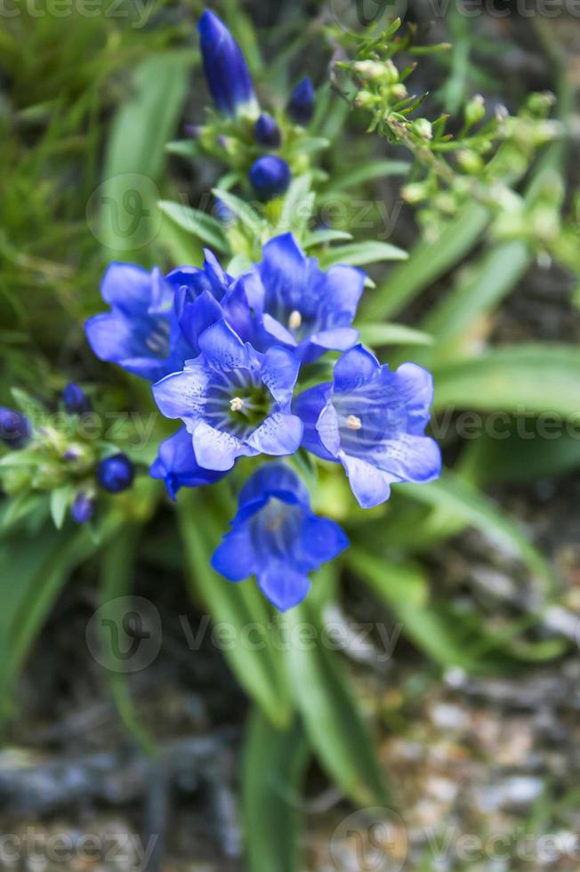 gentiana. planta silvestre de la naturaleza de siberia. foto
