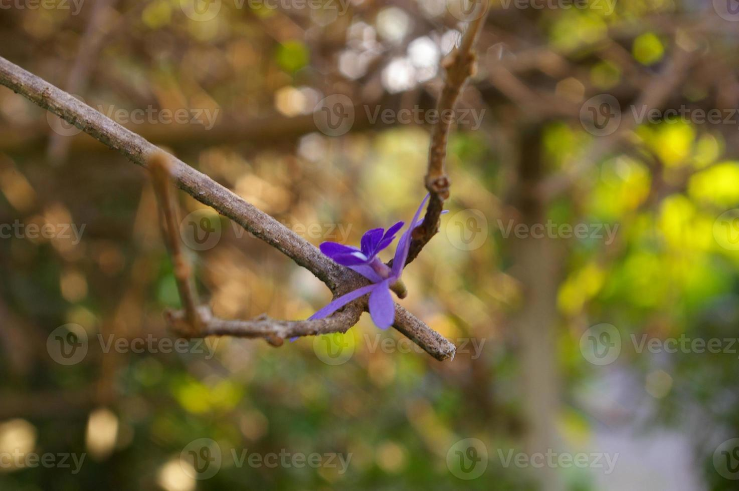 flower of Purple Wreath fell down and stayed on the branches photo