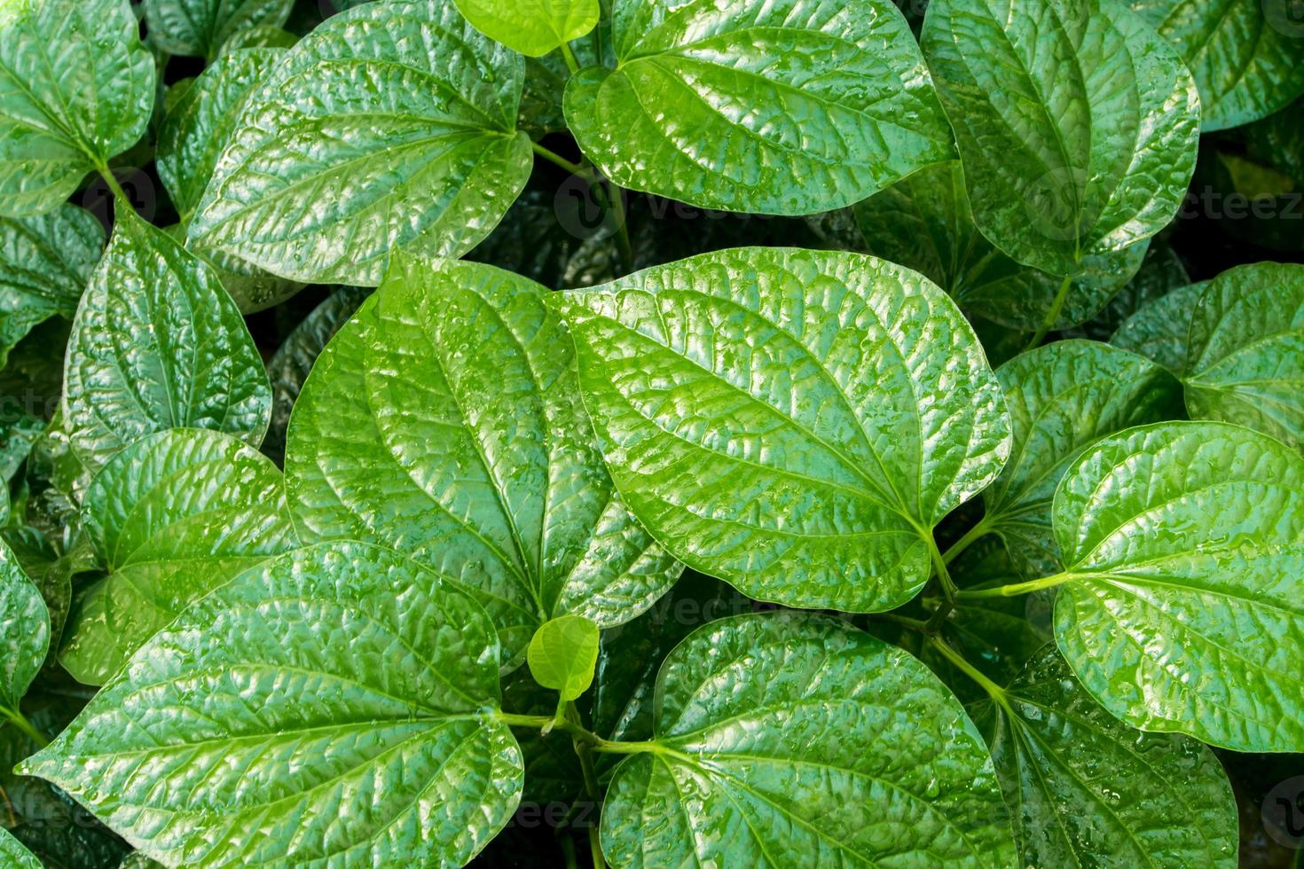 Leaves of Piper sarmentosum, Herb plant background photo