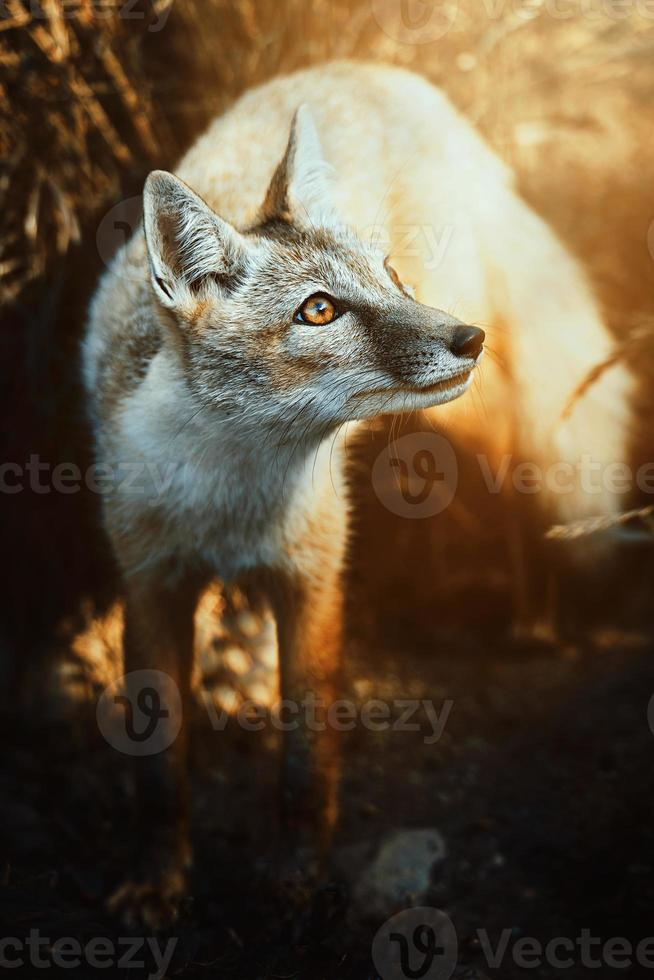 Corsac fox vulpes corsac en la puesta de sol foto