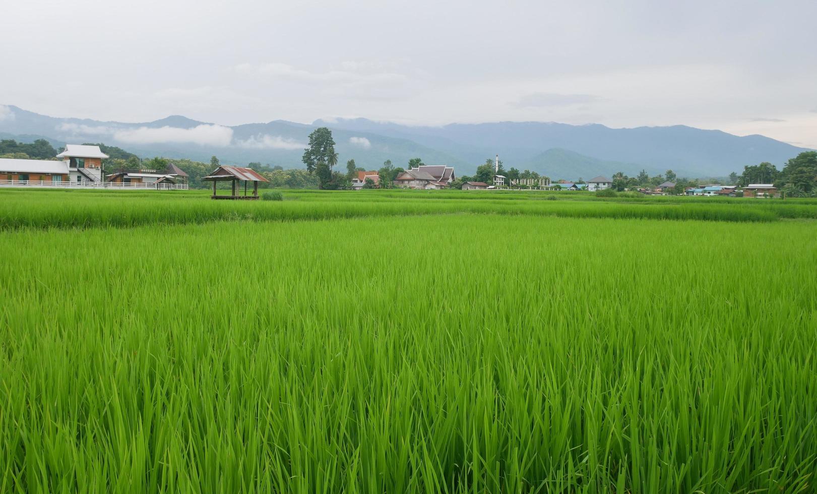 Campos de arroz verde en la temporada de lluvias y montañas. foto