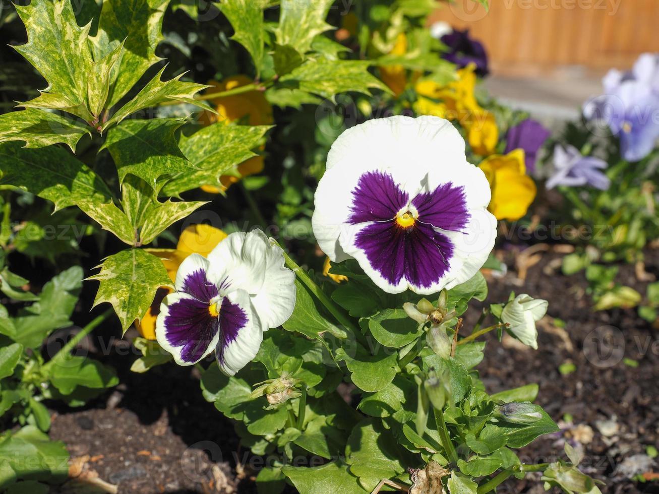 White and purple Viola flower photo