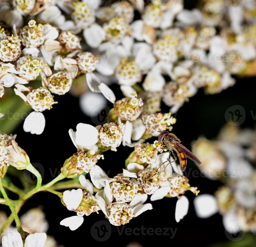 Hoverfly nectar feeding on a white flower photo