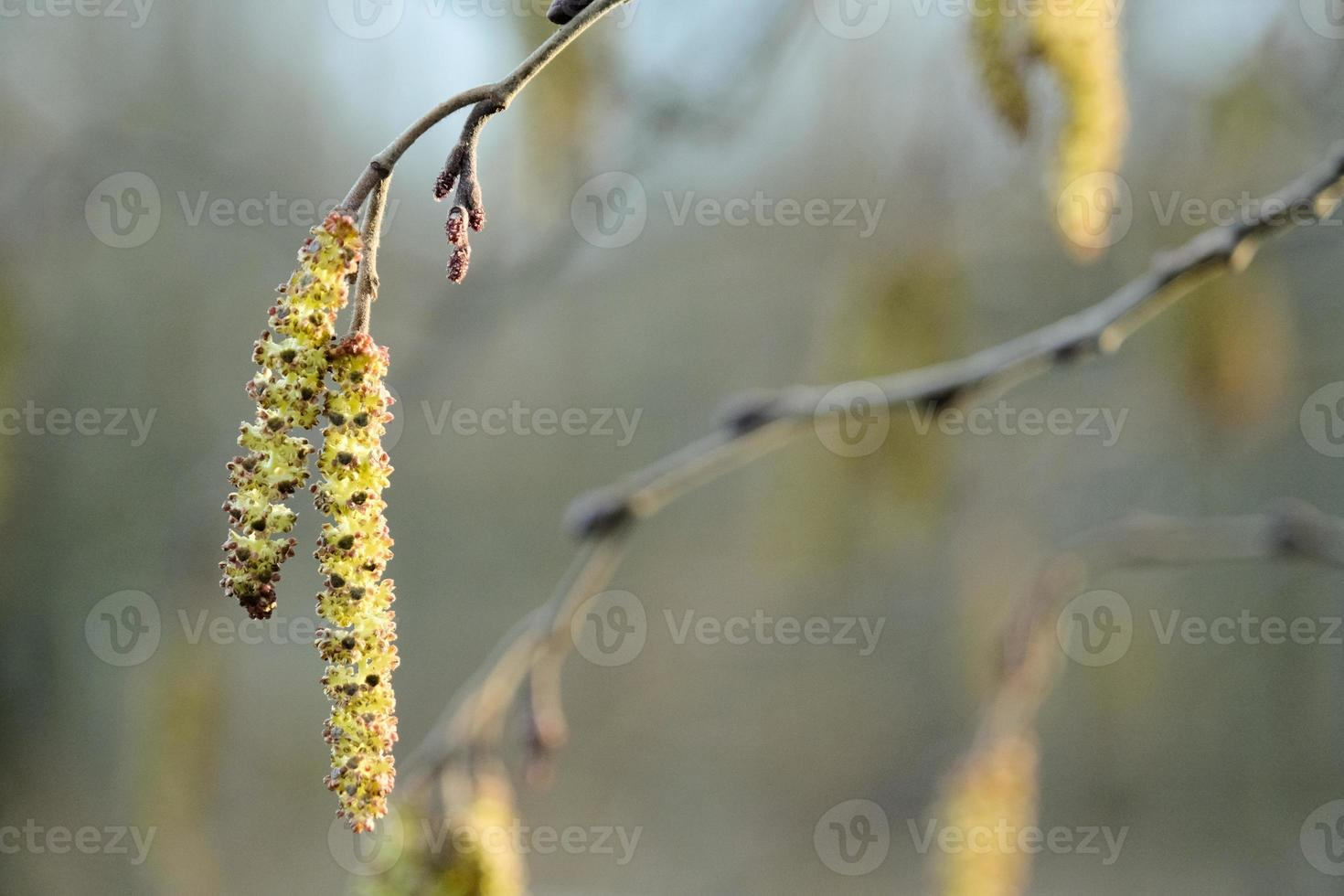 willow tree branch with young blossom catkins in spring garden photo