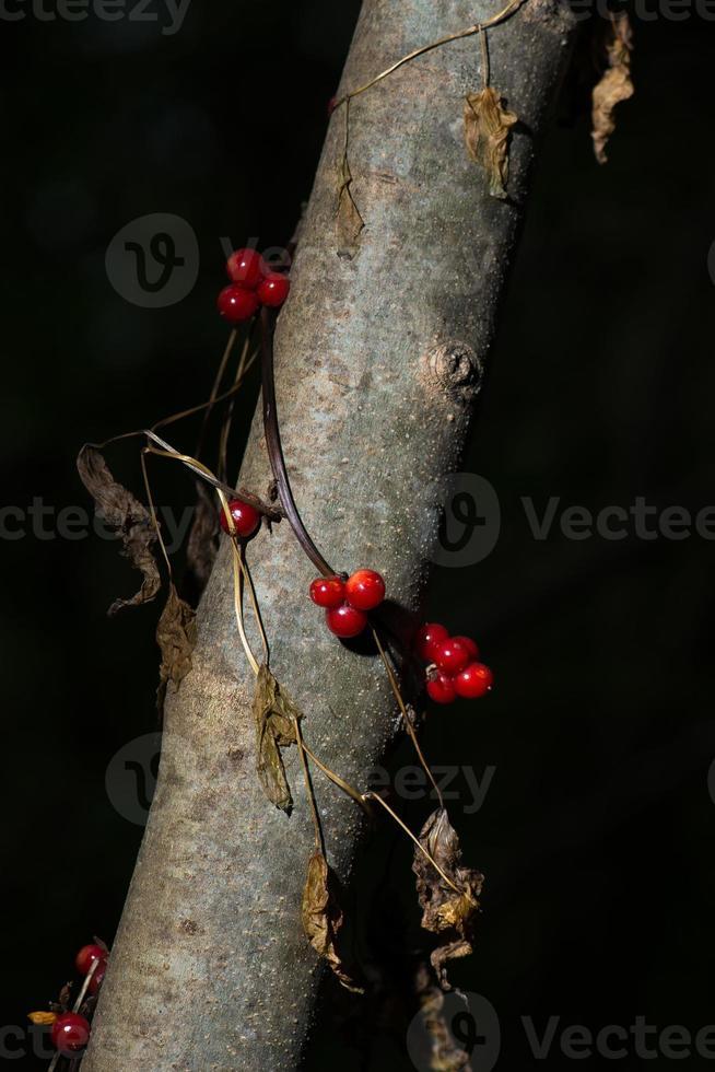 bayas de tamaro negro bryony tamus communis hermoso y venenoso foto