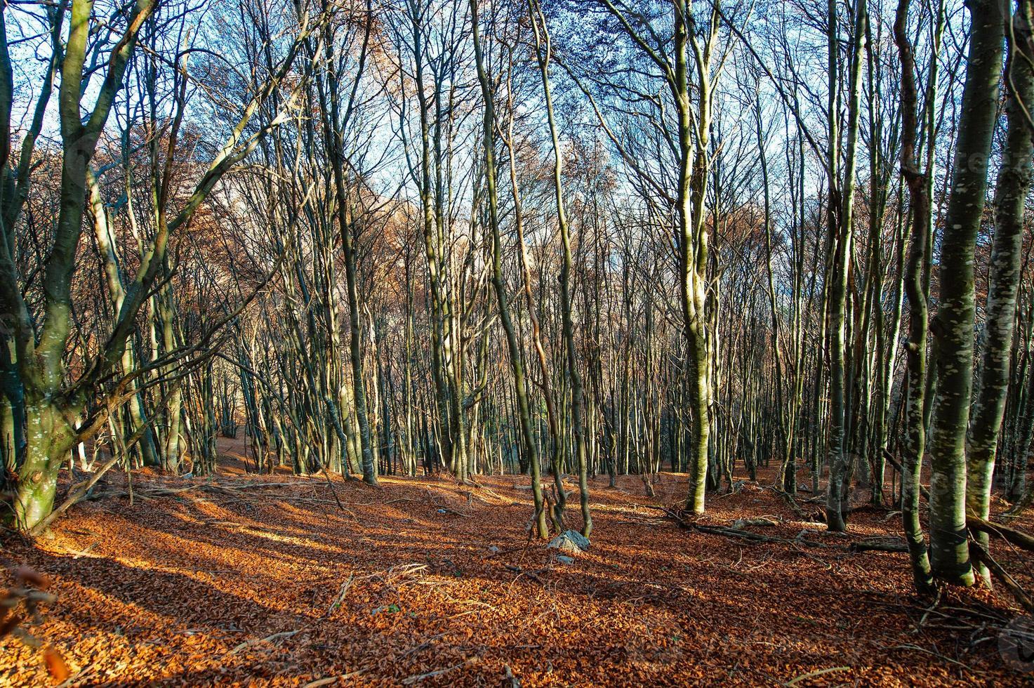 Beech forest on swiss alp photo