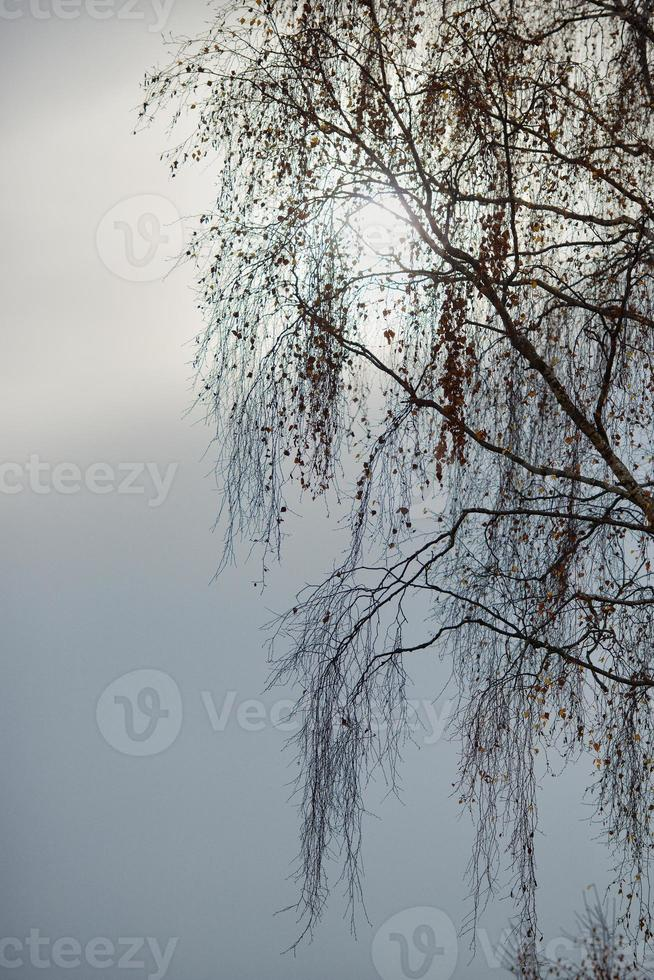 Birch branches in the sky photo