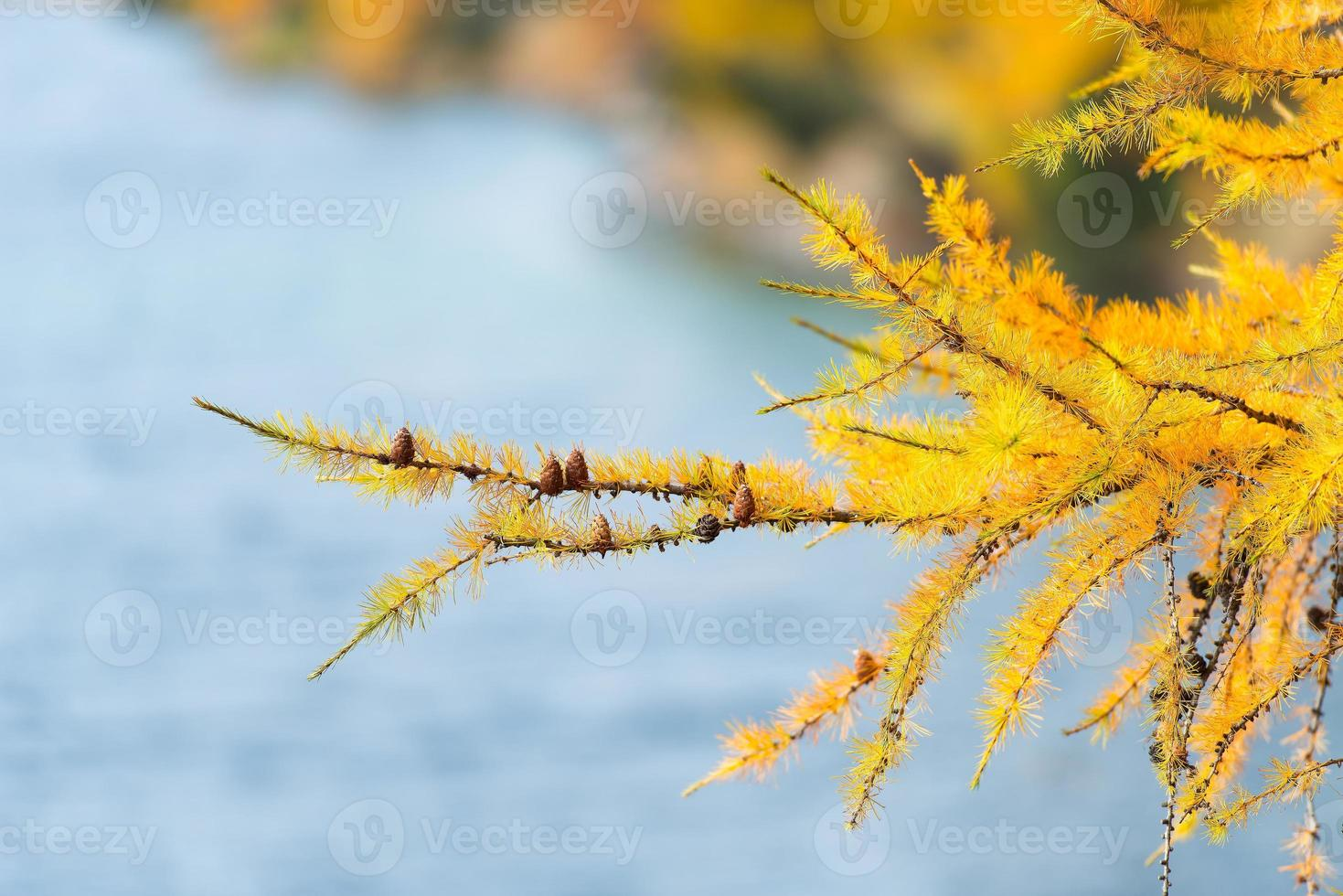 rama de alerce color oro otoño foto