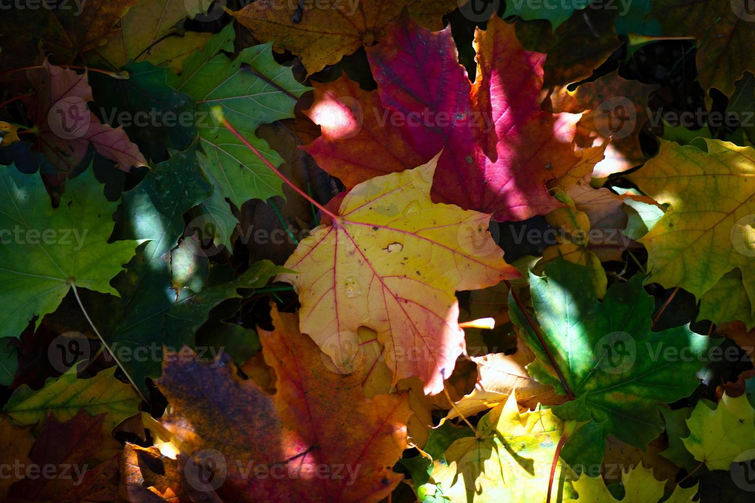 Color autumn leaves in the sun rays photo