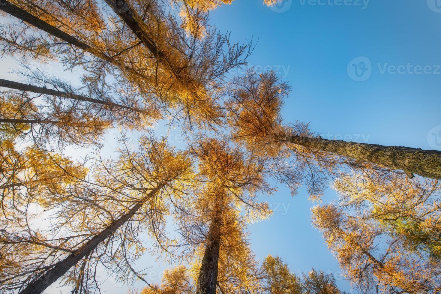 alto alerce otoñal hacia el cielo tomado desde abajo por una forseta foto