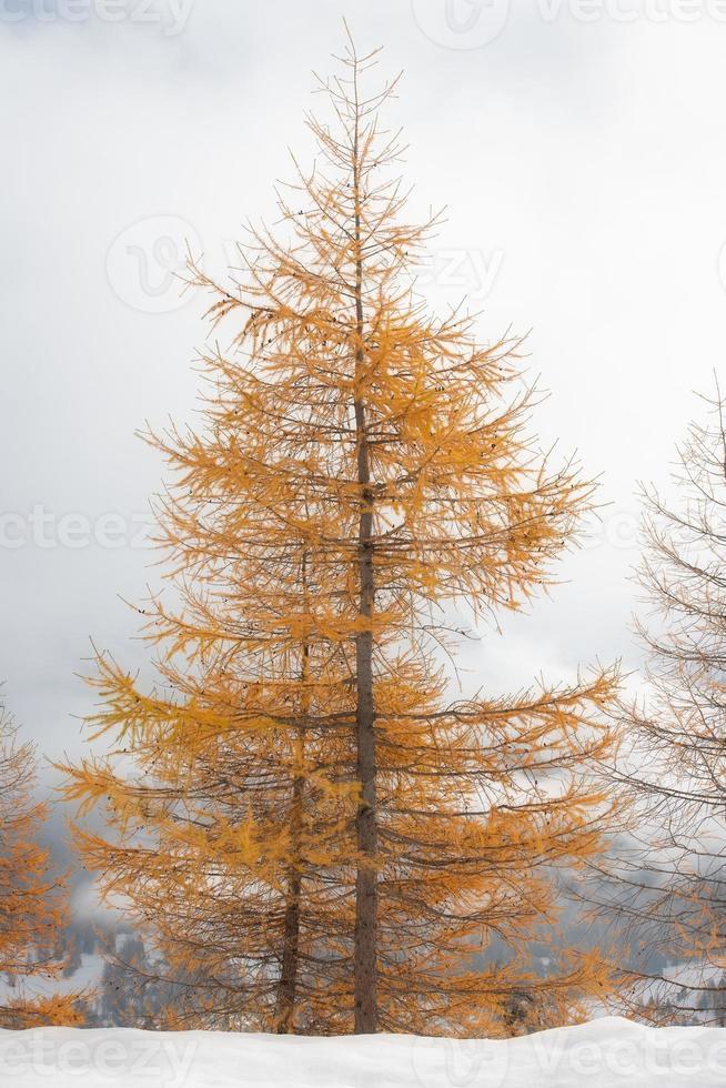 alerce otoñal de color dorado en la primera nevada foto