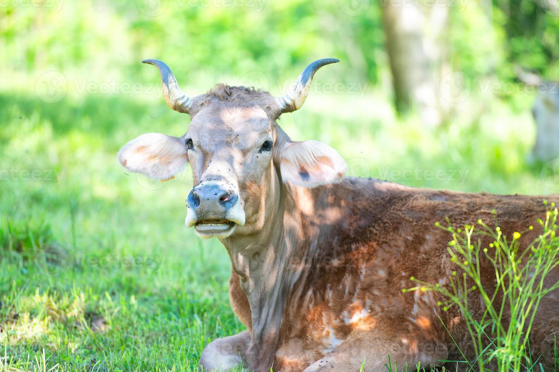 Retrato de vaca con grandes cuernos en primavera foto