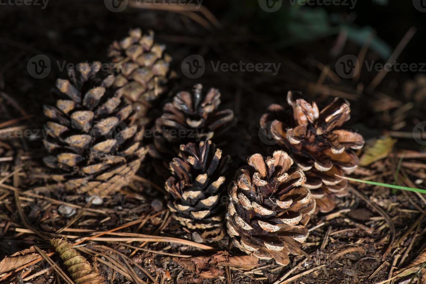 piñas en la madera en otoño foto