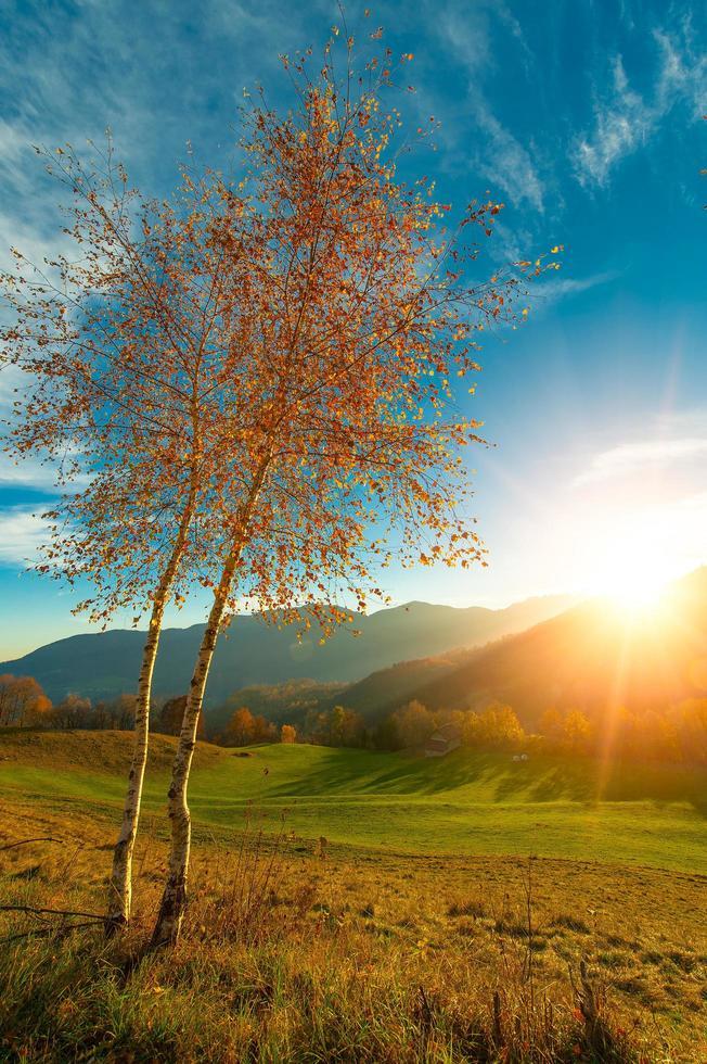 Dos pequeños abedules en sol de otoño foto