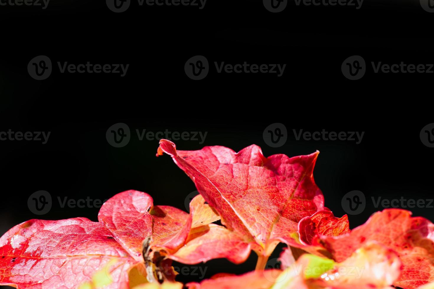 hojas de hiedra roja sobre un fondo negro foto
