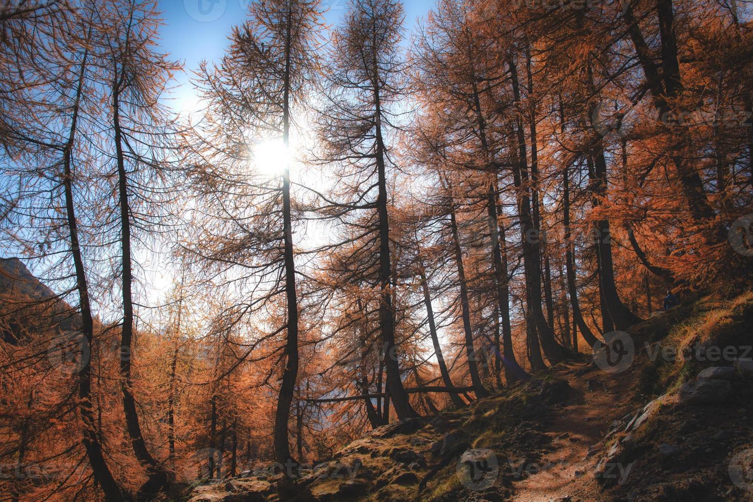 el sol se filtra a través de un bosque de alerces otoñales en los alpes foto