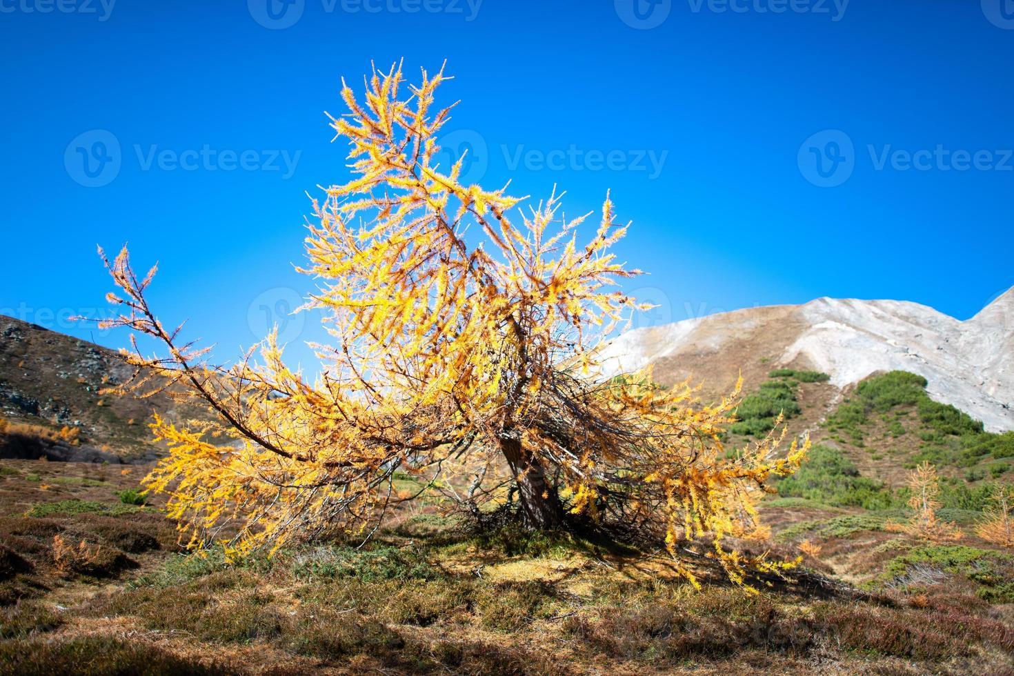 pequeña planta de alerce en las montañas de otoño foto