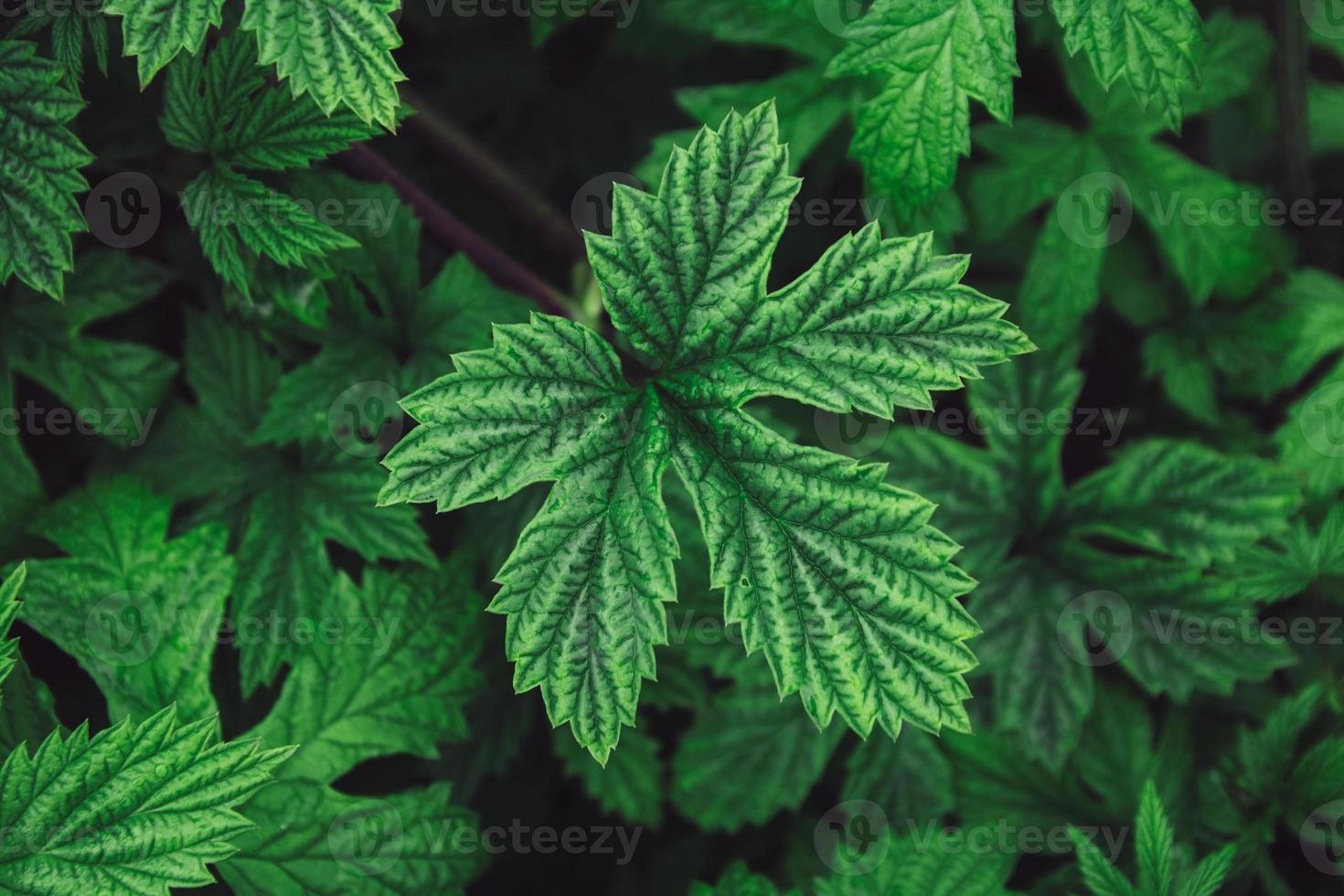 Stinging nettle leaves as background. Beautiful texture of nettle photo
