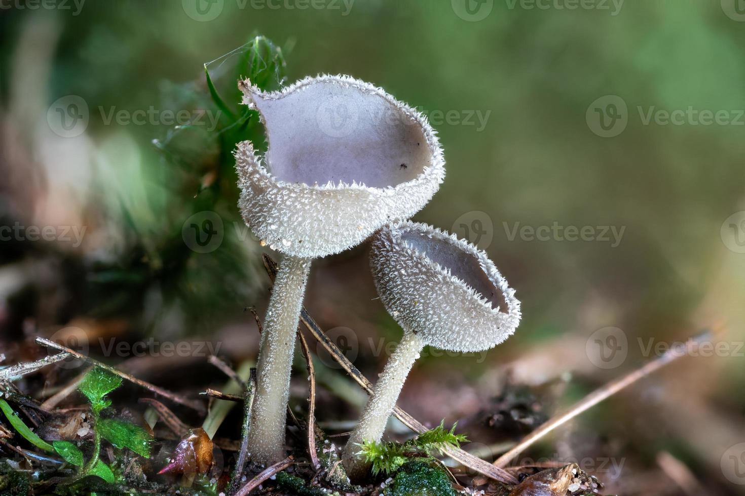 Close up of a peziza mushroom between pine needles photo
