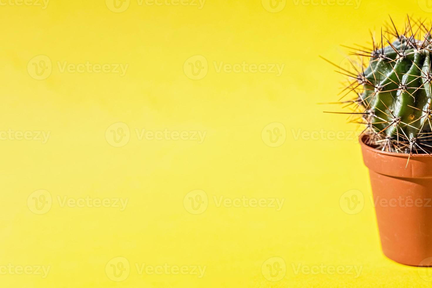 Part of a cactus plant in a flower pot on a yellow background photo