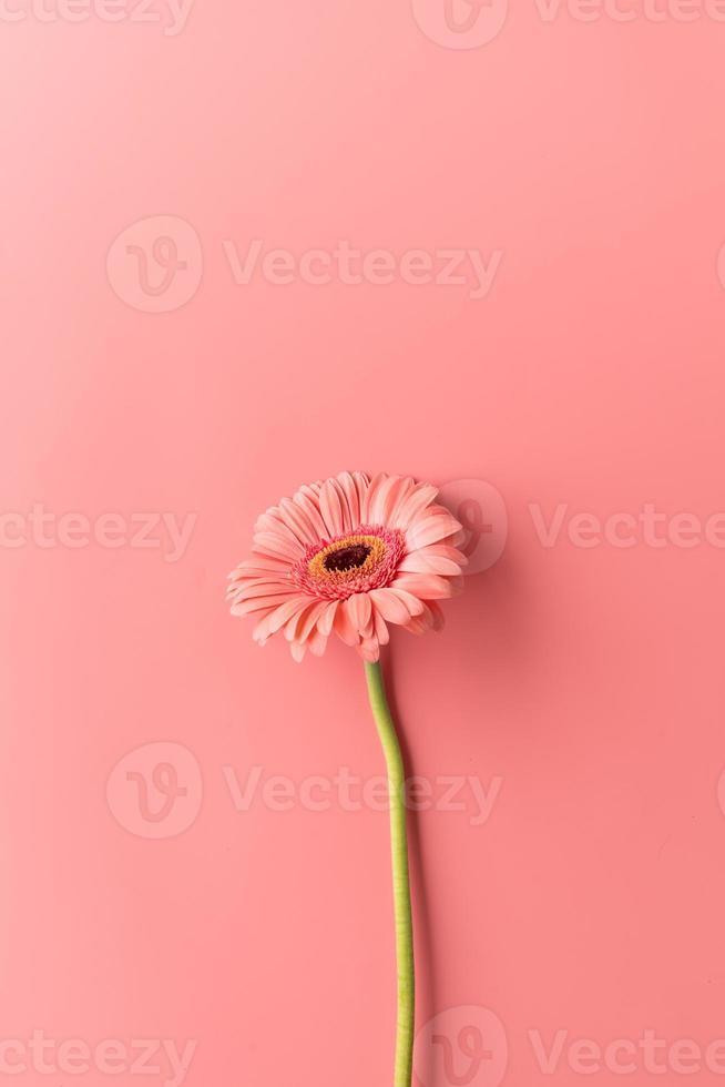 Única flor de la margarita del gerbera sobre un fondo de color rosa foto