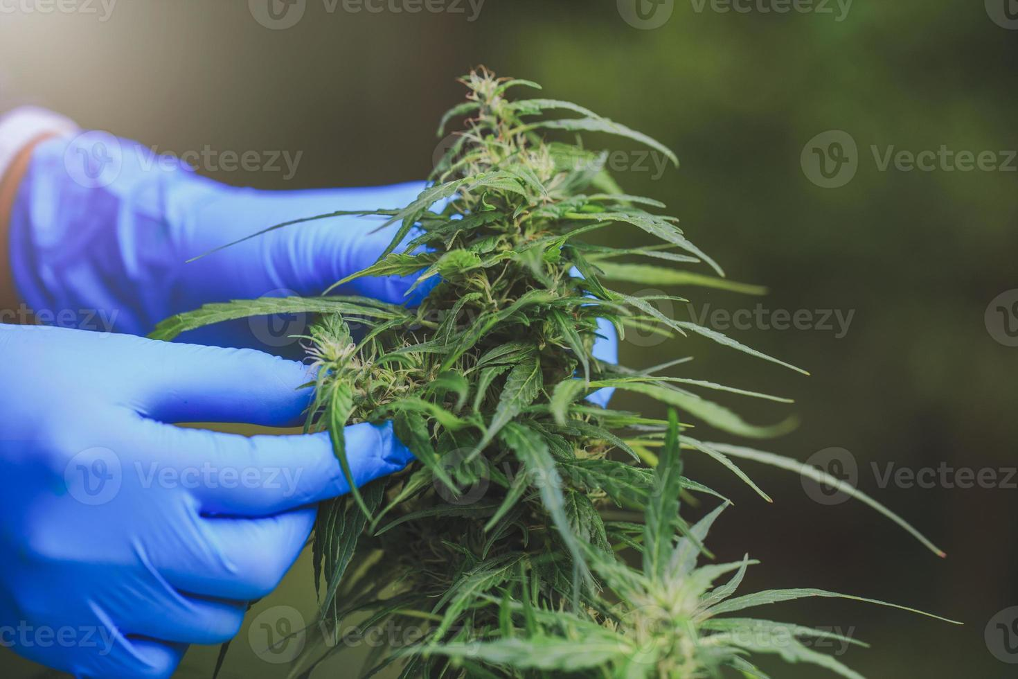 Researchers use hand to hold or examine cannabis plants . photo