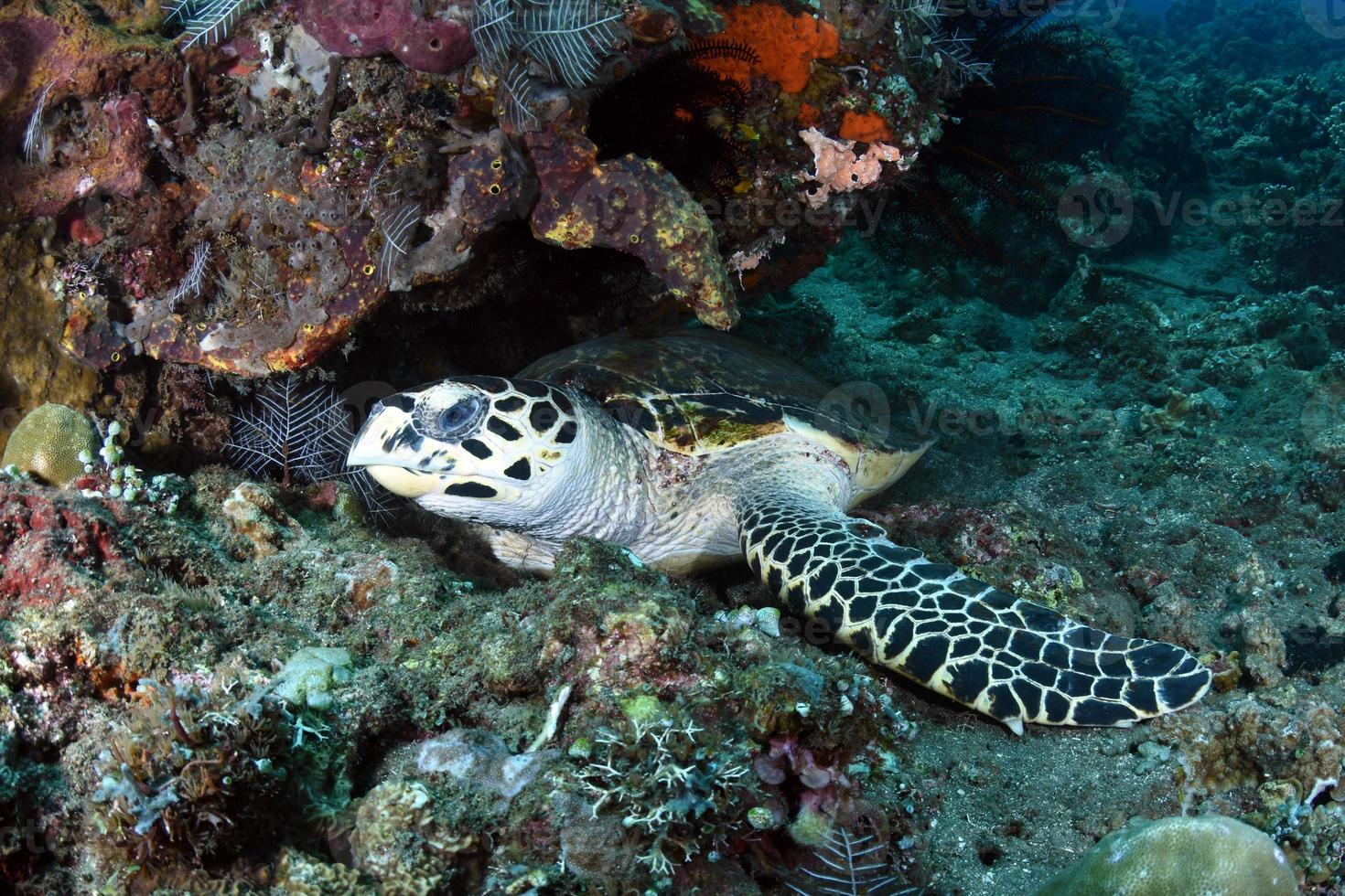 Hawksbill Sea Turtle in the sea photo