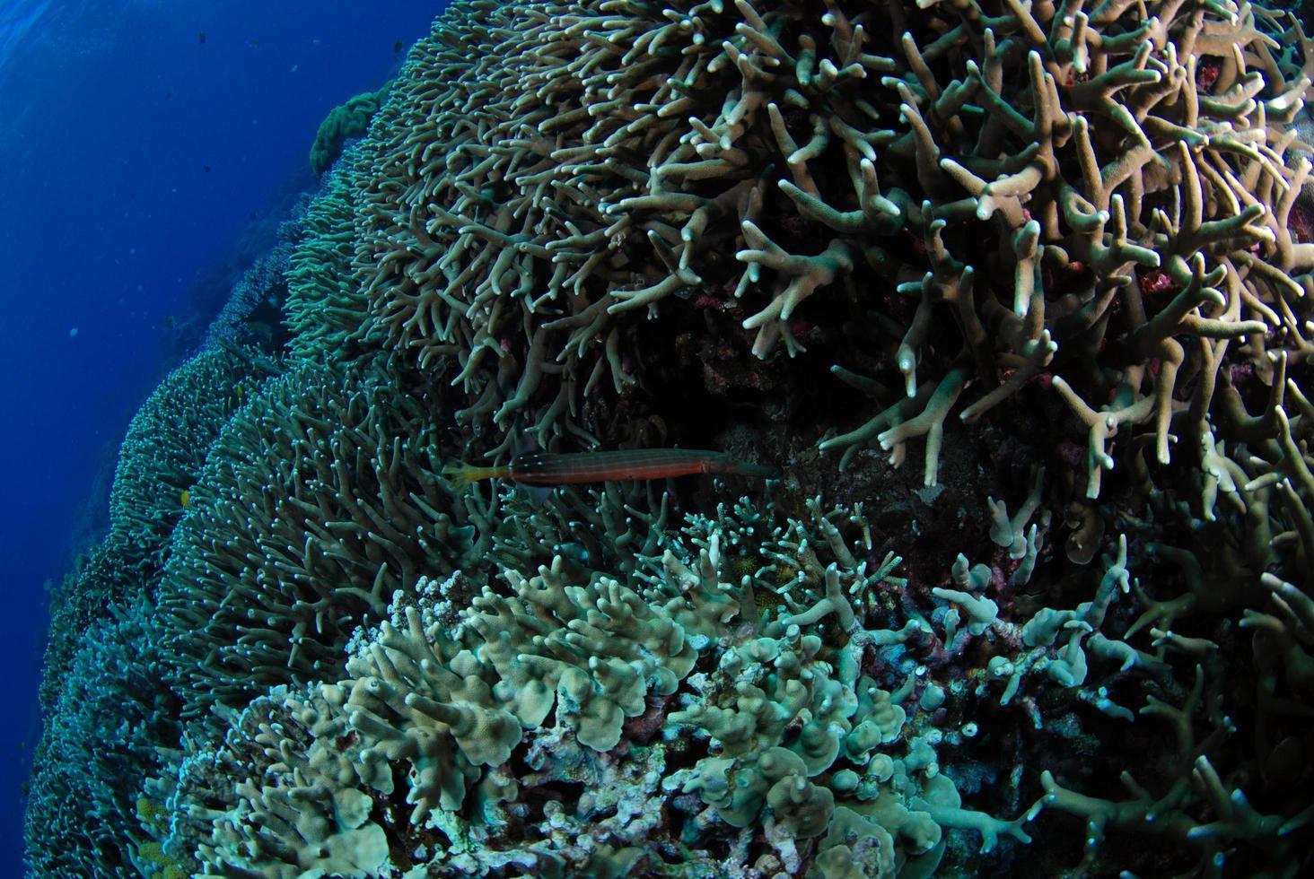 Pez trompeta en un arrecife de coral de la isla de Apo, Filipinas foto