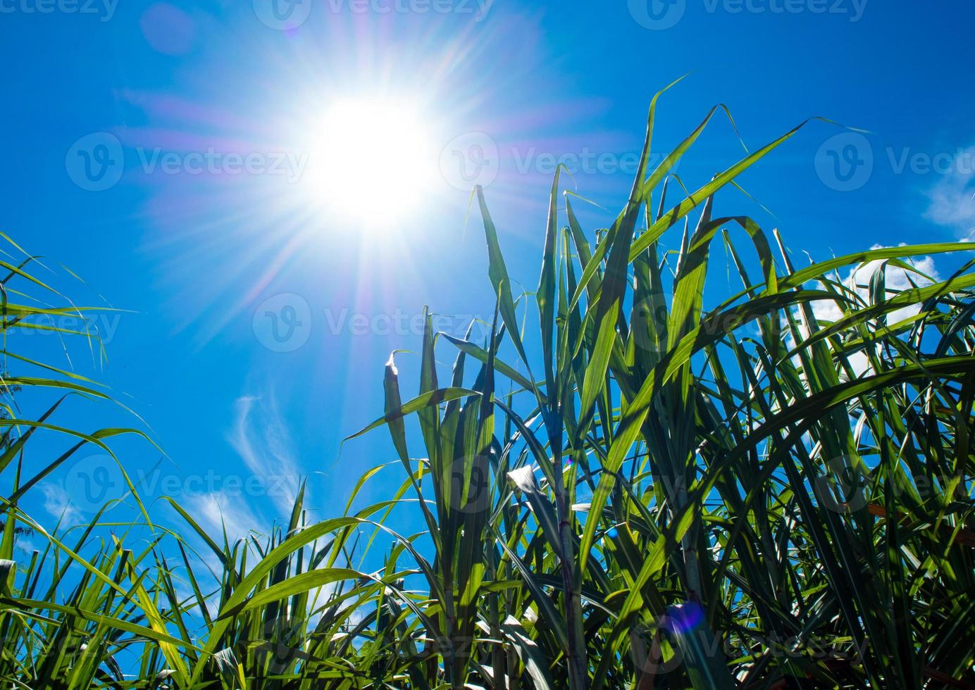 la luz del sol y el cielo azul sobre las hojas de caña de azúcar foto