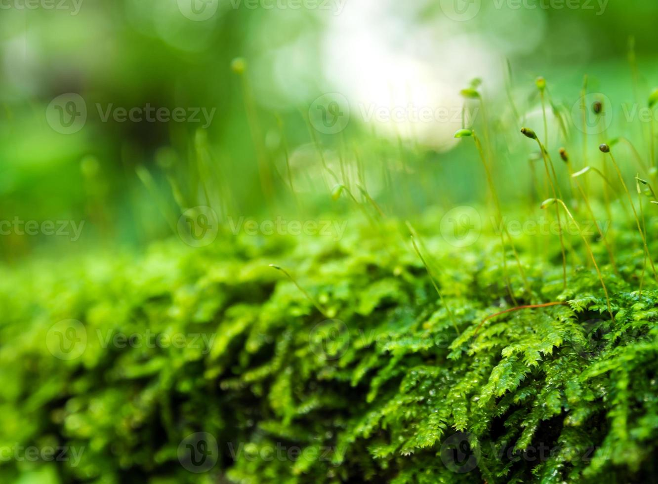 Sporophyte of green moss with water drops growing in the rainforest photo